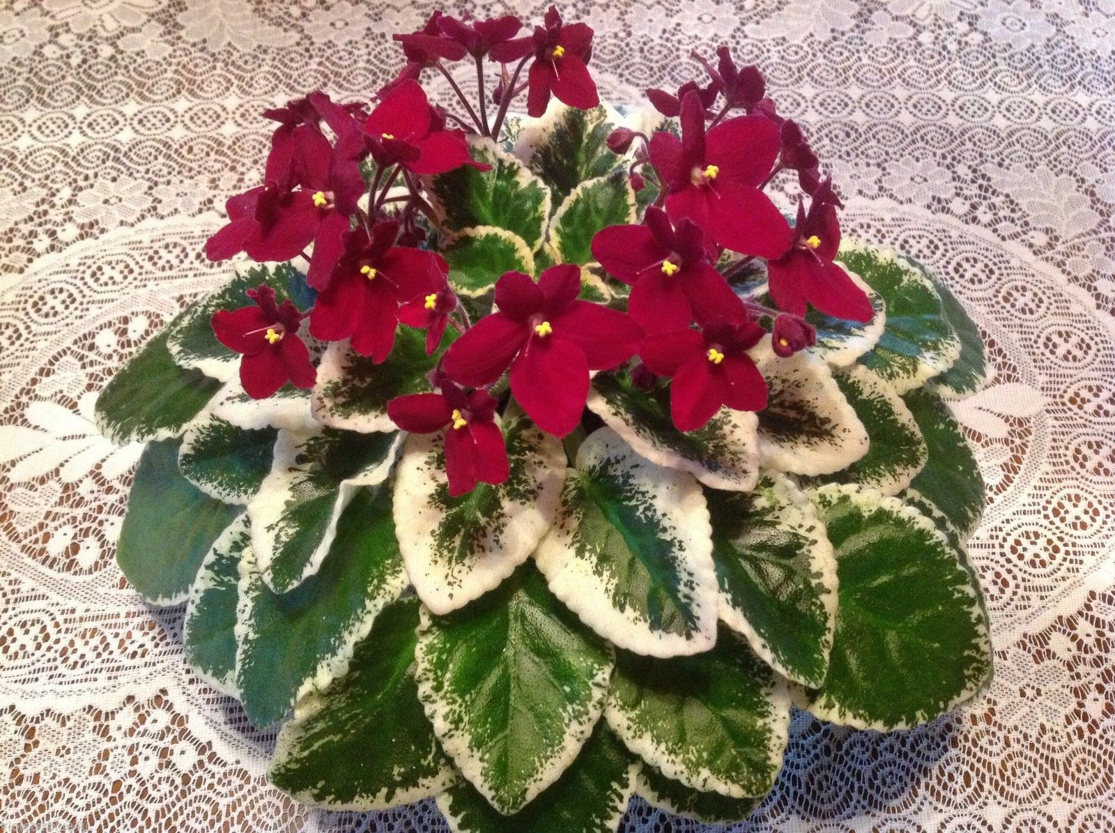 1000+ images about African Violets on Pinterest.