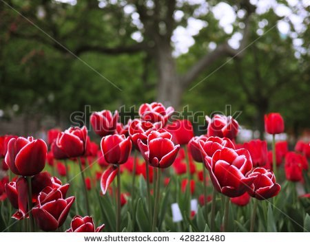 Red Fringed Tulips White Stock Photos, Royalty.