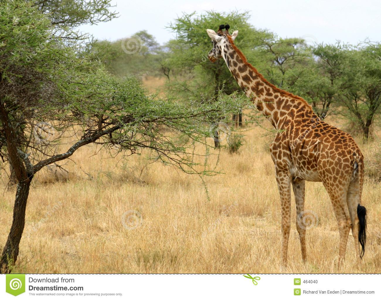 Giraffe In Serengeti Stock Photo.