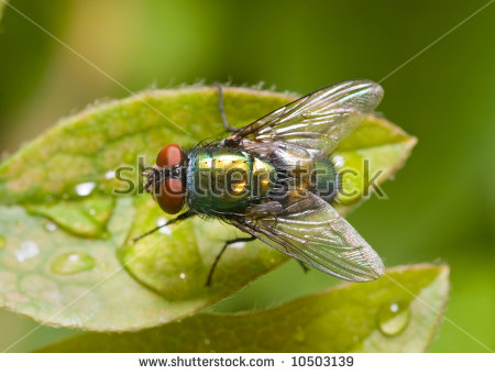 """green Bottle Flies"" Stock Photos, Royalty."