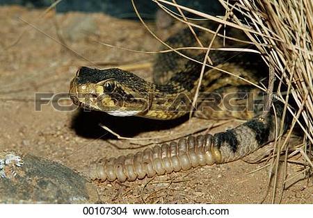 Stock Photo of Juniors, Mojave, Ophidia, Serpentes, Squamata.