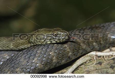 Pictures of Colubridae, Juniors, Ophidia, Serpentes, Squamata.