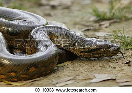 Pictures of Brazil, Eunectes, Juniors, Ophidia, Serpentes.