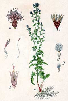 Serratula tinctoria Saw.