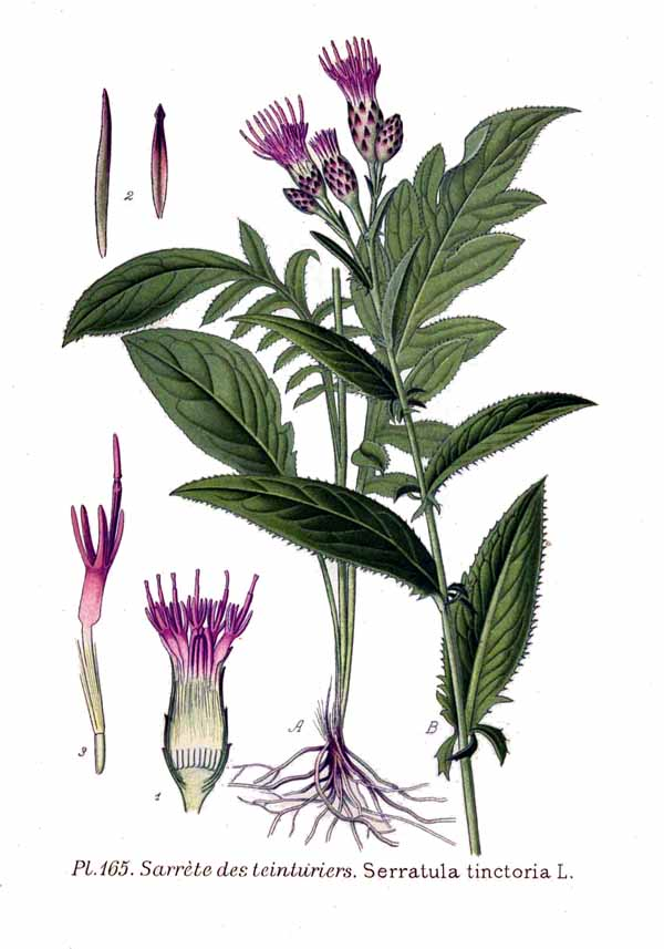 File:165 Serratula tinctoria L.jpg.
