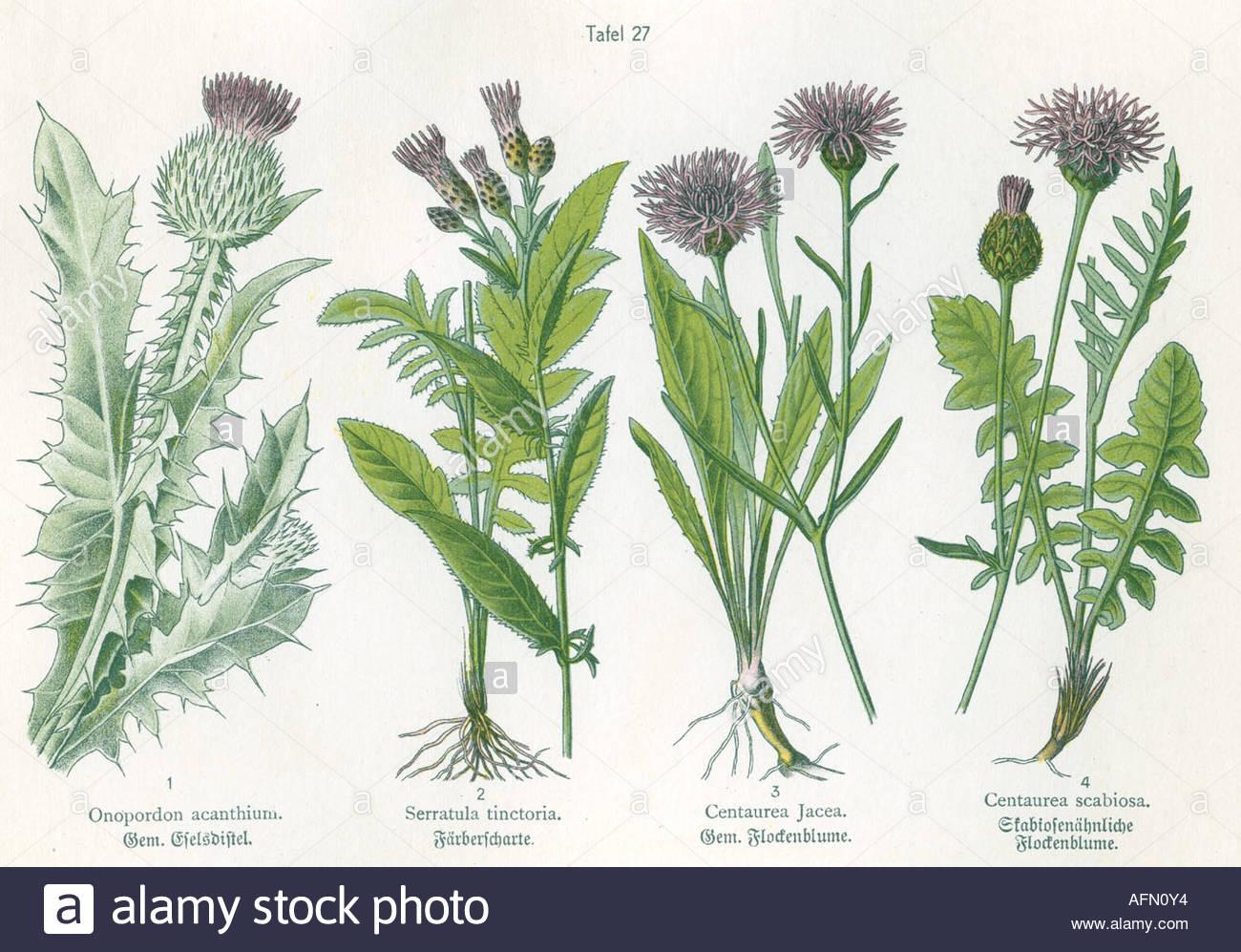 Botany, Four Illustrations, Cotton Thistle (onopordon Acanthium.
