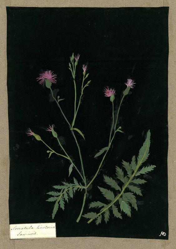 Mary Delany botanical collage: Serratula Tinctoria, 1782.