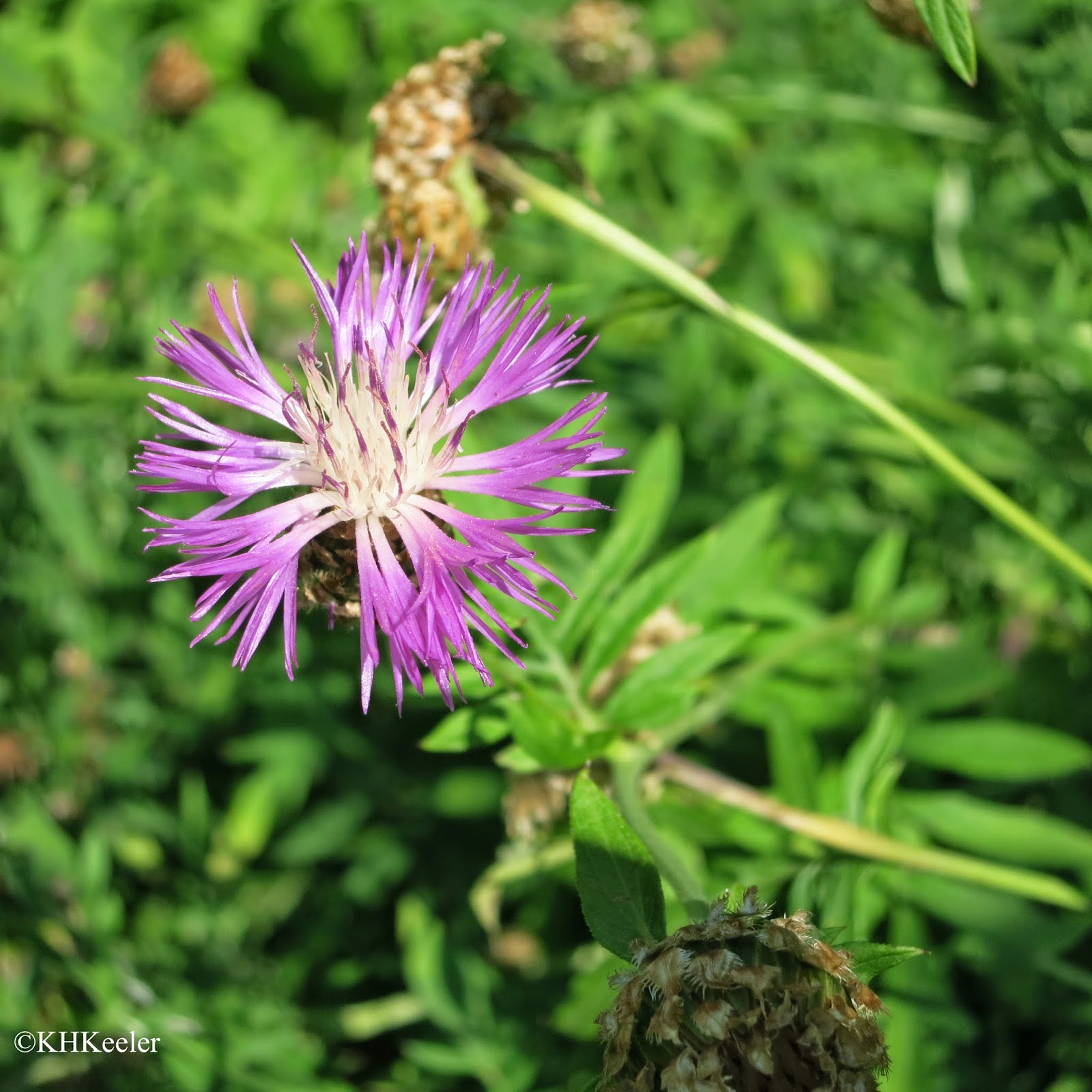 A Wandering Botanist: Dye Plant.