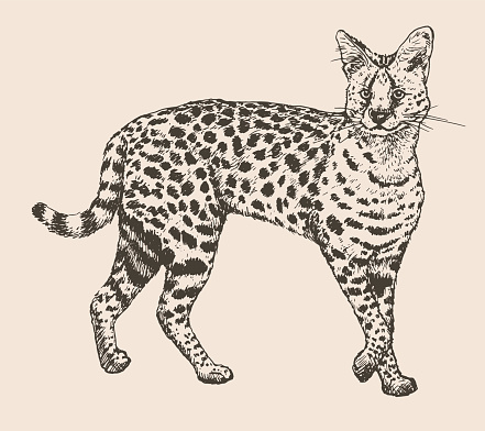 Drawing Of A Serval Clip Art, Vector Images & Illustrations.