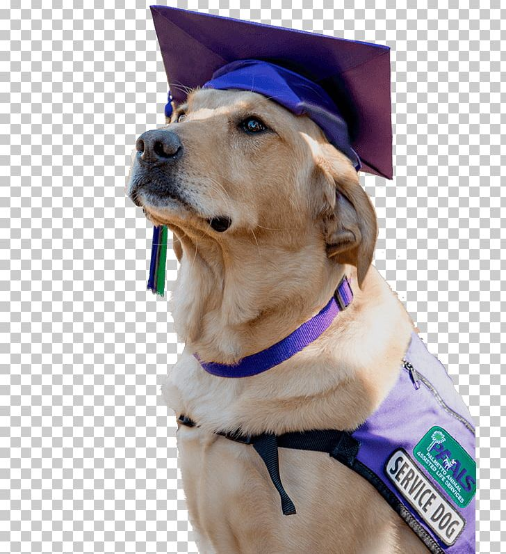 Golden Retriever Puppy Service Dog Dog Breed PNG, Clipart.