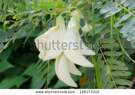 Sesbania Grandiflora Stock Photos, Royalty.