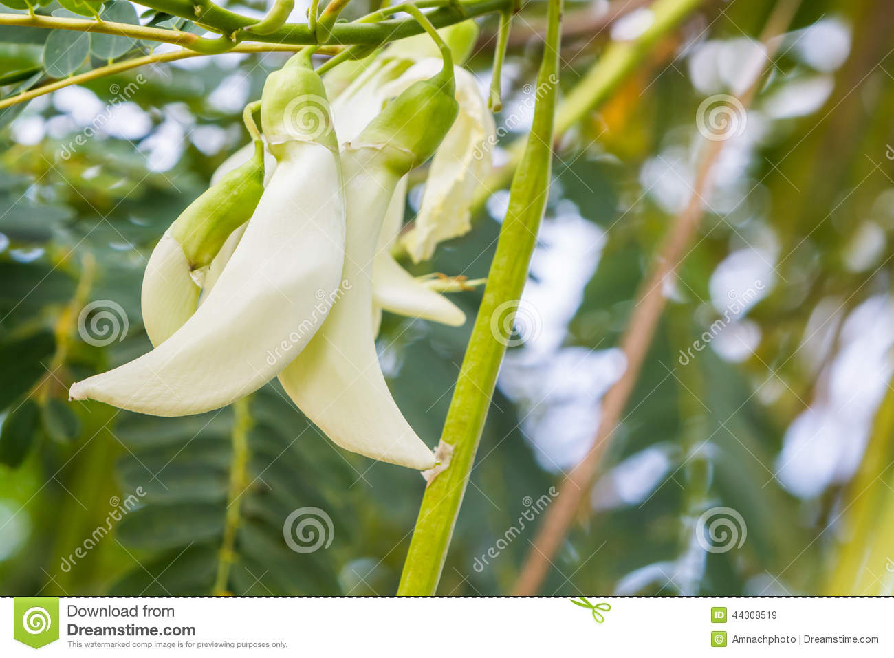 Vegetable Humming Bird, Sesbania Grandiflora, Agasta. Stock Photo.