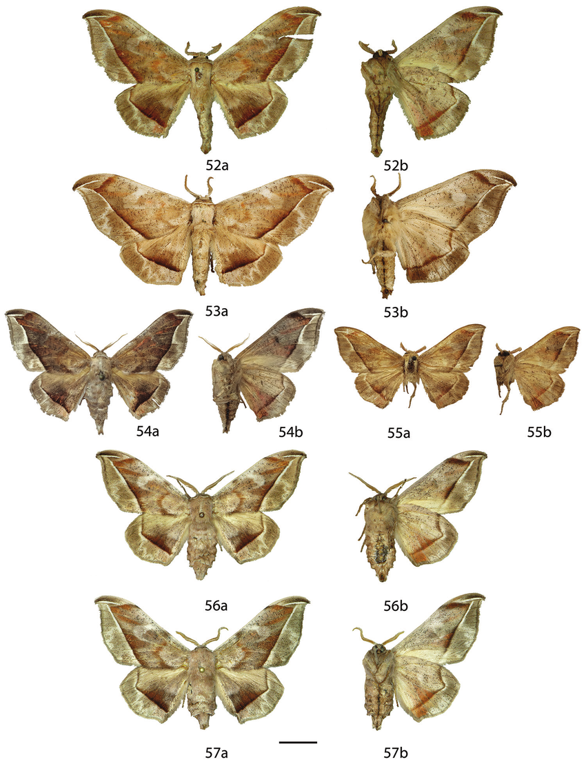 Revision of the genus Menevia Schaus, 1928 (Lepidoptera.