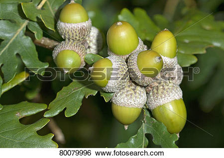 Stock Images of DEU, 2010: Sessile Oak, Durmast Oak (Quercus.