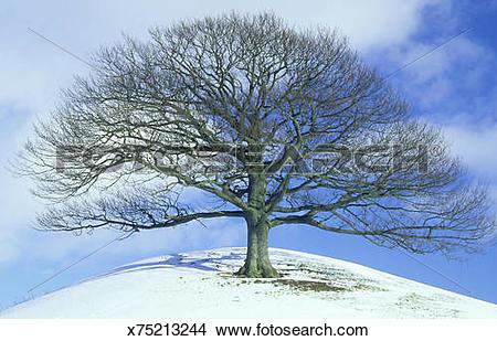 Stock Photo of sessile oak quercus petraea isolated tree in winter.