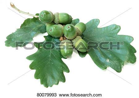 Stock Photo of DEU, 2003: Durmast Oak, Sessile Oak (Quercus.