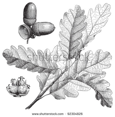 Sessile Oak (Quercus Sessiliflora) / Vintage Illustration From.