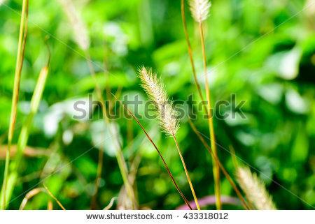 Foxtail Grass Stock Photos, Royalty.