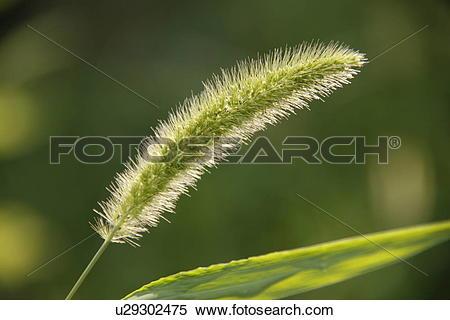 Stock Image of Green bristlegrass (Setaria viridis P. Beauv.