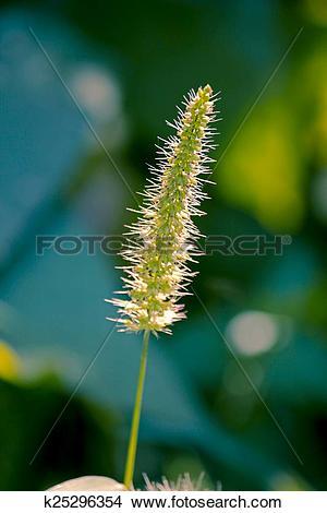 Stock Photo of Setaria viridis, green foxtail, green bristlegrass.