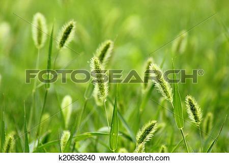 Stock Photography of The breeze in the Setaria viridis k20638240.