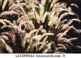 Setaria viridis Stock Photos and Images. 42 setaria viridis.