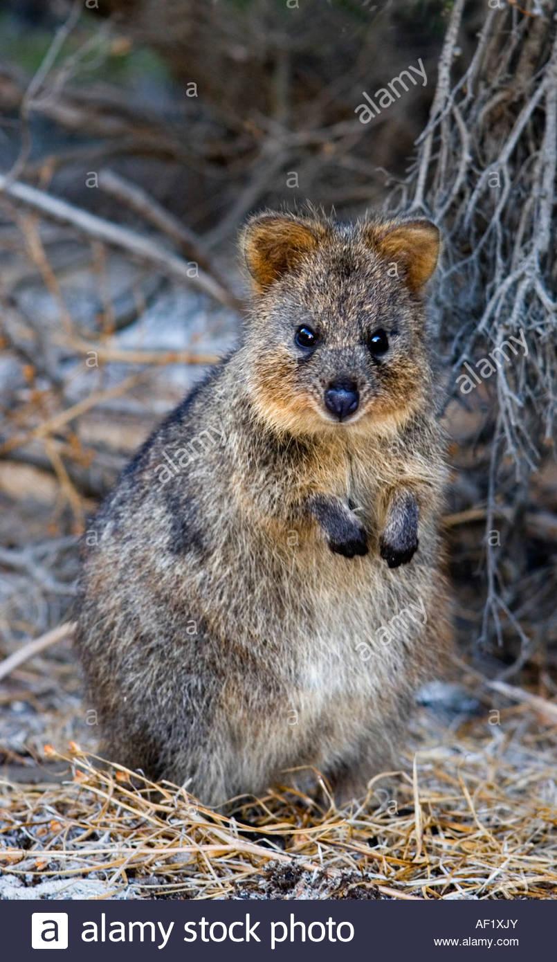Tiny Marsupial Stock Photos & Tiny Marsupial Stock Images.
