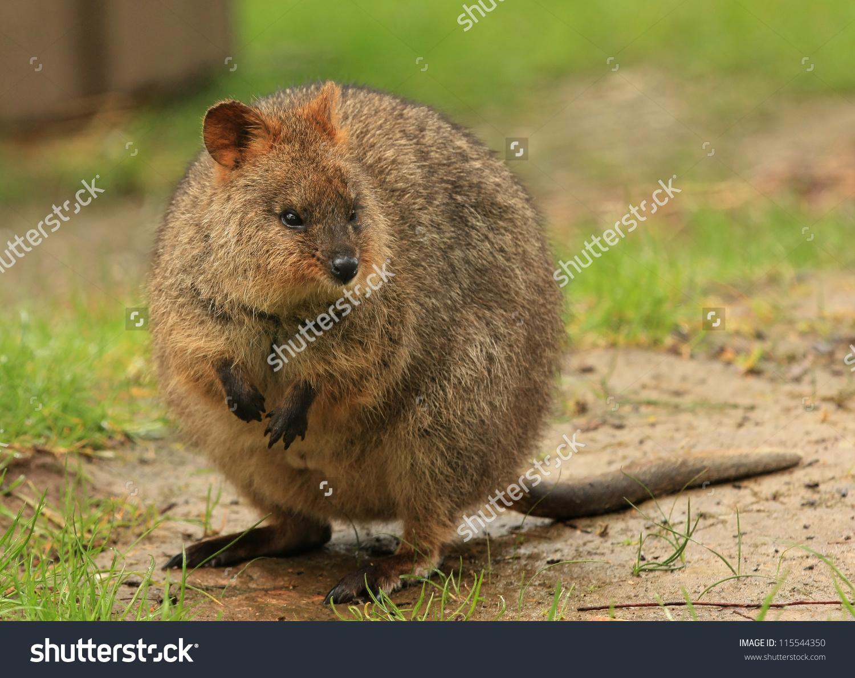 Quokka Setonix Brachyurus Native Australian Animal Stock Photo.