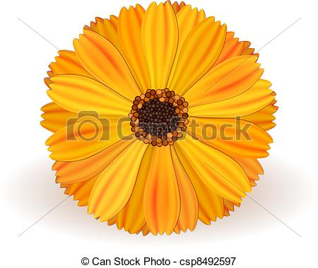 Marigold Stock Photos and Images. 10,513 Marigold pictures and.