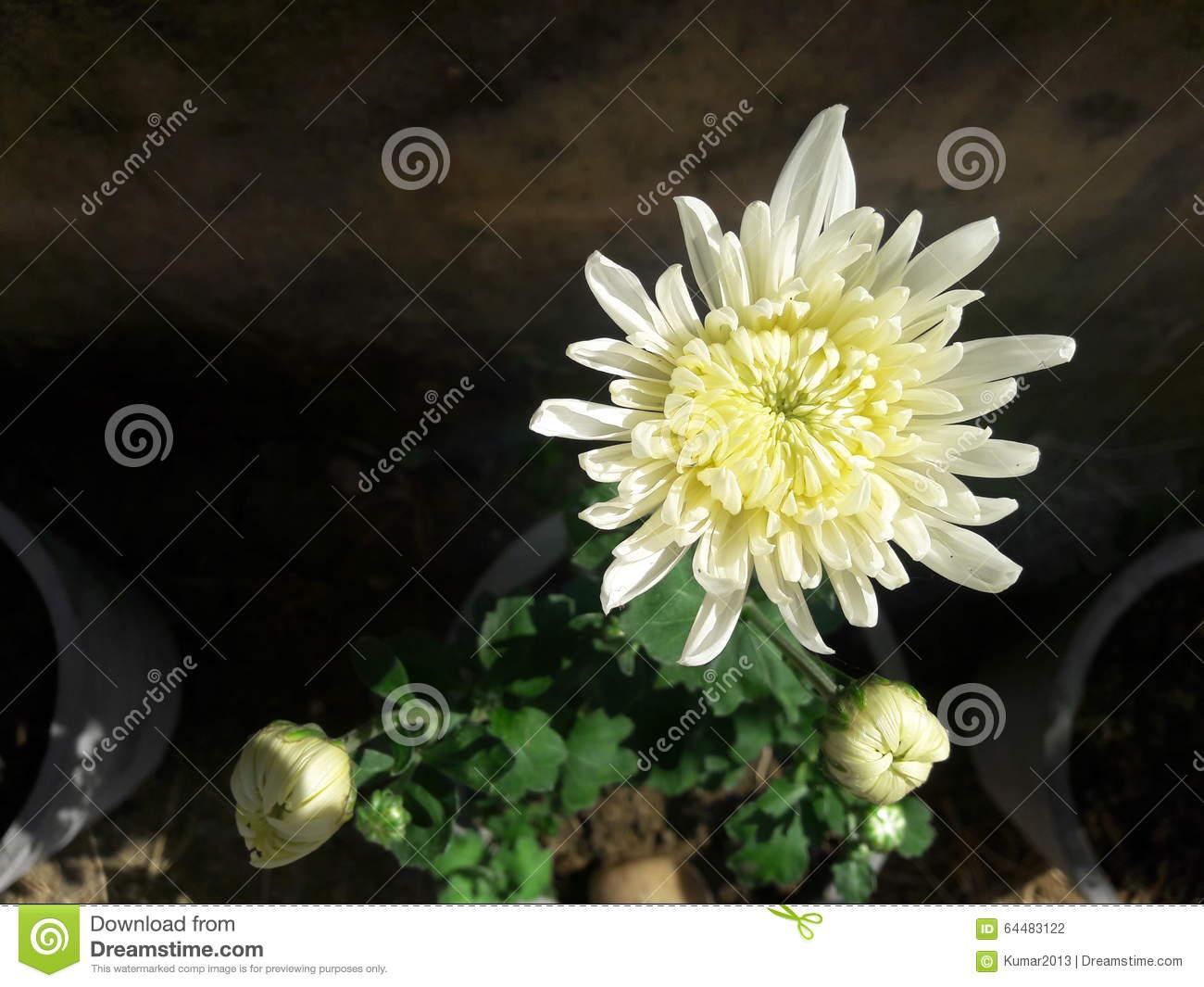 White Crysanthemum Flower Close Up Stock Photo.
