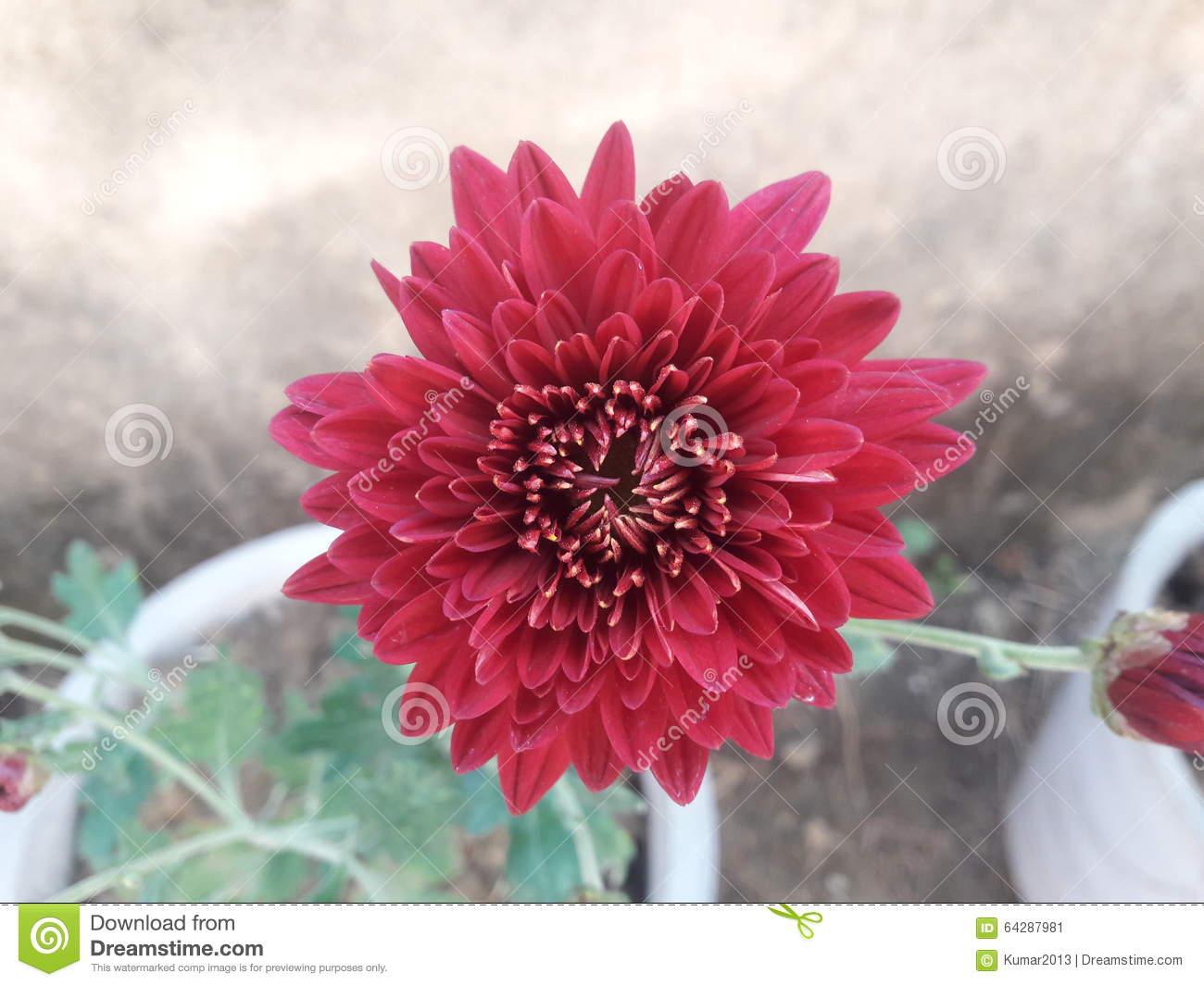 Maroon Crysanthemum Flower Close Up Stock Photo.