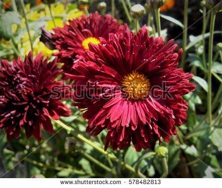 Chrysanthemum Stock Photo 193302218.
