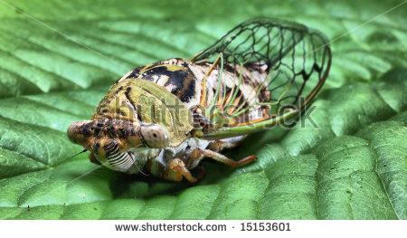 17 Year Cicada Stock Photos, Royalty.