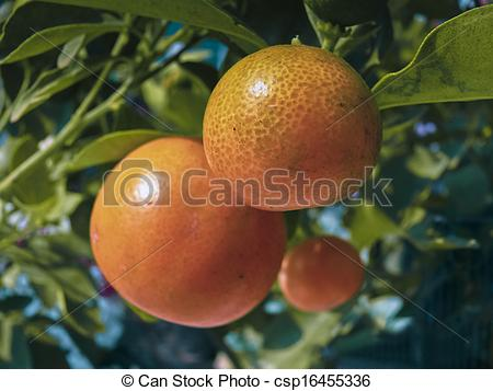 Stock Photos of Bonsai plant of Orange fruits, Sour orange.