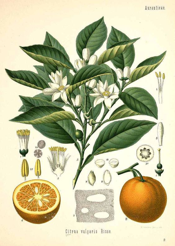 Citrus aurantium L. [as Citrus vulgaris Risso] Orange, Seville.