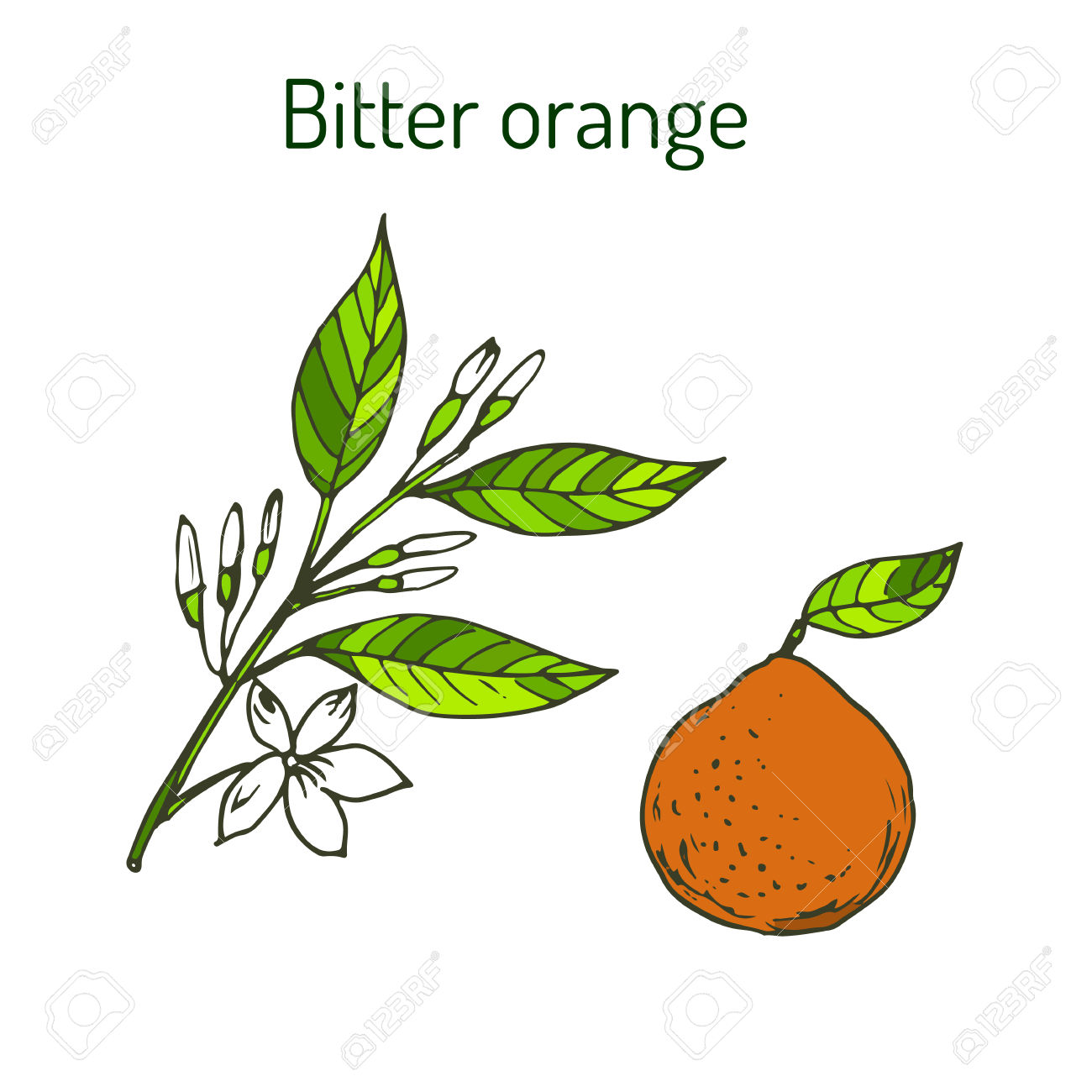 Bitter Orange, Seville Orange, Sour Orange, Bigarade Orange.