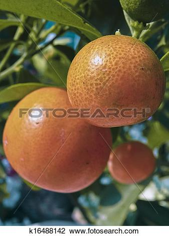 Stock Photo of Bonsai plant of Orange fruits, Sour orange, Seville.