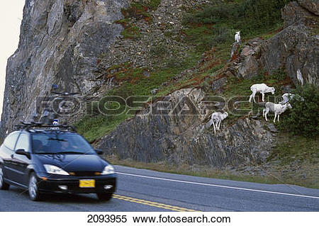 Stock Image of Dall Sheep Graze Near Passing Cars On The Seward.