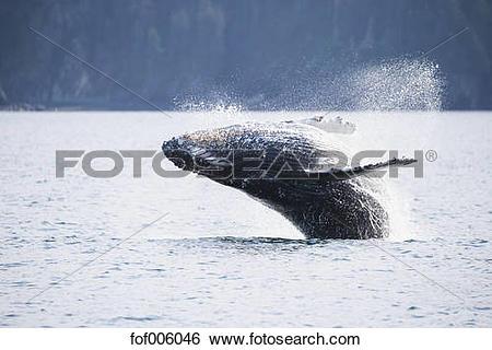 Stock Images of USA, Alaska, Seward, Resurrection Bay, jumping.