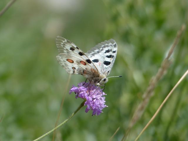 Free photo: Apollo, Butterfly, Apollofalter.