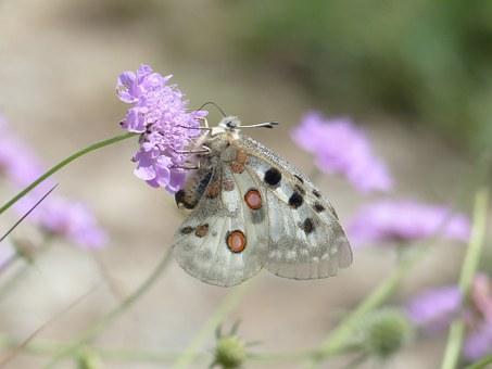 Free photo Apollo Parnassius Apollo Butterfly Apollofalter.