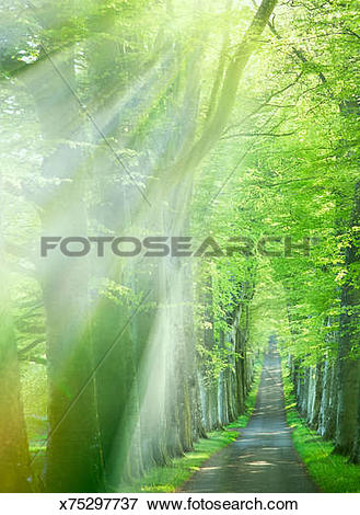 Picture of Shafts of sunlight illuminate along avenue of tree.