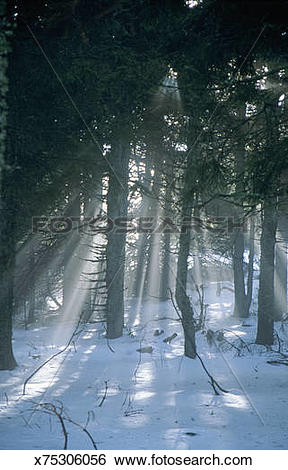 Stock Images of Shafts of sunlight shining through forest trees.