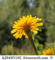 Hawkweed Images and Stock Photos. 128 hawkweed photography and.