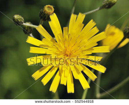 Yellow Hawkweed Stock fotos, billeder til fri afbenyttelse og.