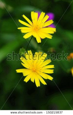 "yellow Hawkweed"" Stock Photos, Royalty."