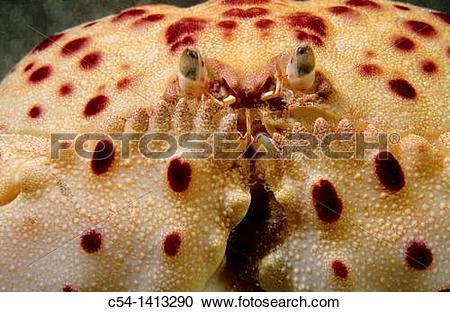 Stock Photography of Shamefaced Crab (Calappa granulata), Eastern.