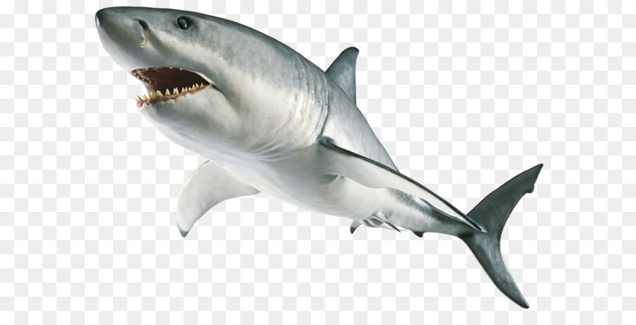 Great White Shark Background png download.