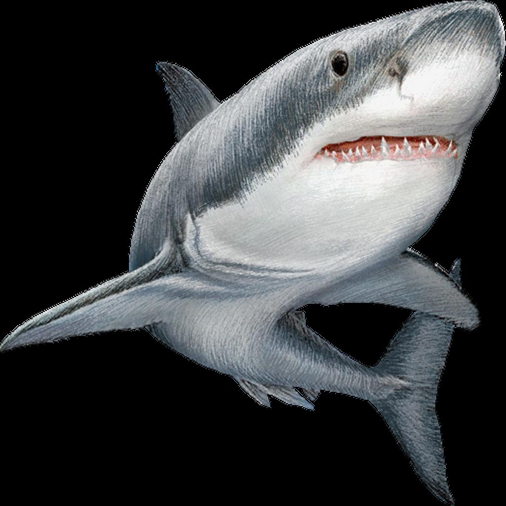 Great white shark Clip art Image Illustration.