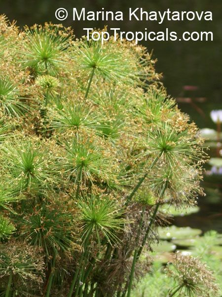 Cyperus haspan, Dwarf Papyrus, Sharp Edge Sedge, Haspan Flatsedge.
